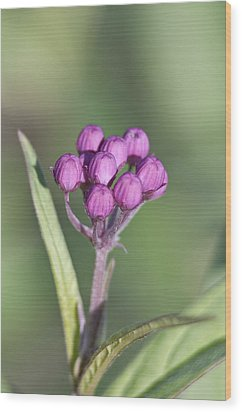 Buds Of The Milkweed Wood Print by Kathryn Whitaker