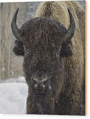 Buffalao In Snow Wood Print by Susi Stroud
