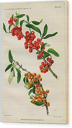Buffalo Berry Wood Print by  Department of Agriculture