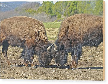 Buffaloes At Play Wood Print