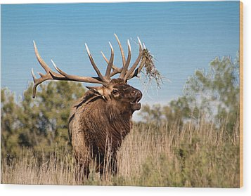 Bull Elk Call Wood Print