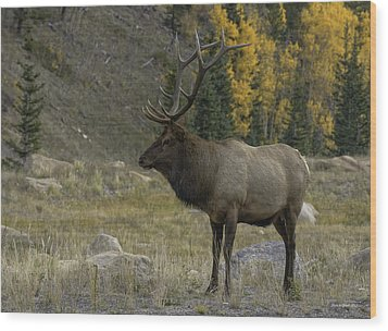 Bull Elk In Hidden Valley Wood Print by Tom Wilbert