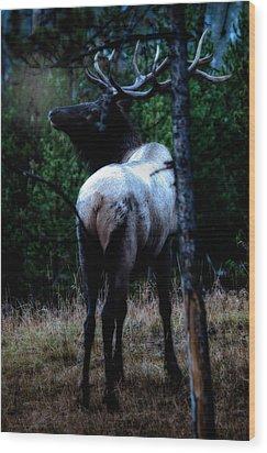 Bull Elk In Moonlight  Wood Print