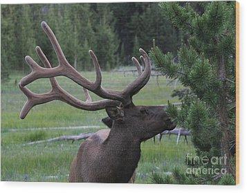 Bull Elk In Velvet Wood Print