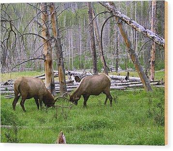 Bull Elk Sparing Wood Print