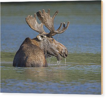 Wood Print featuring the photograph Bull Moose At Fishercap by Jack Bell