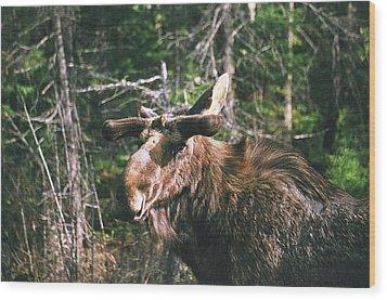 Bull Moose In Spring Wood Print