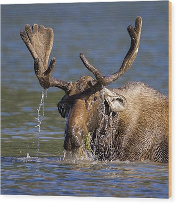 Bull Moose Sampling The Vegetation Wood Print