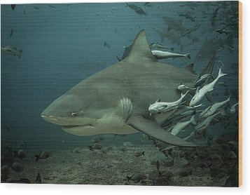 Bull Shark With Ramoras Wood Print