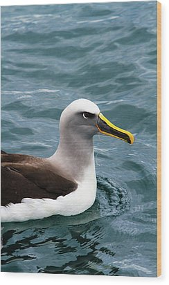 Buller's Albatross (thalassarche Bulleri Wood Print