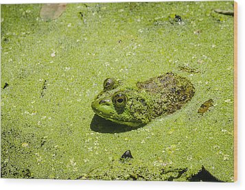 Wood Print featuring the photograph Bullfrog In Duckweed by Bradley Clay