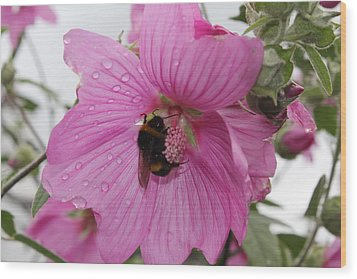 Bumble Bee On Lavatera Wood Print by David Grant