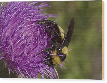 Bumble Bee On Thistle Wood Print by Shelly Gunderson