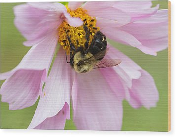 Bumblebee On A Blossom Wood Print