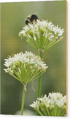 Bumblebee On Garlic Chives Wood Print by Rebecca Sherman
