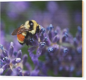 Bumblebee On Lavender Wood Print by Rona Black