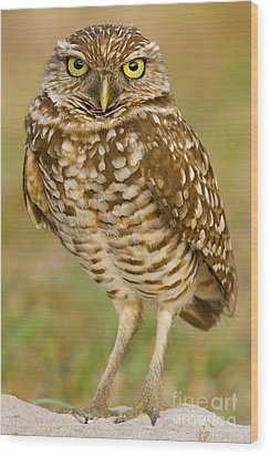 Burrowing Owl Wood Print by Jerry Fornarotto
