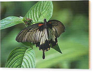 Wood Print featuring the photograph Butterfly 2 by Kathy Churchman