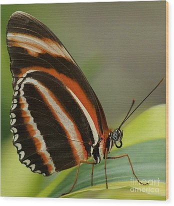 Butterfly Autumn With Green Head Wood Print by Gail Matthews