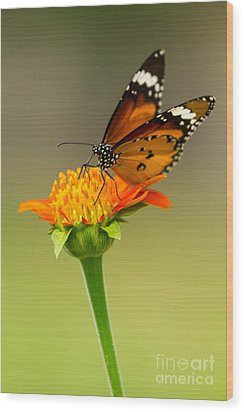 Butterfly Feeding Wood Print by Tosporn Preede