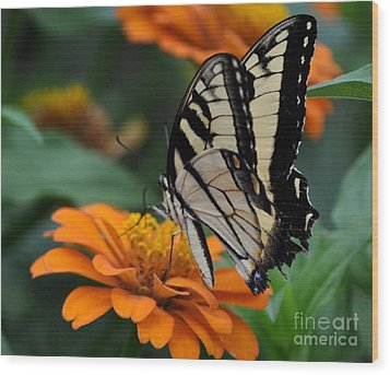 Butterfly On Zinnia Wood Print