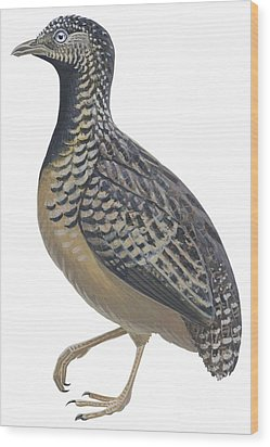 Button Quail Wood Print by Anonymous