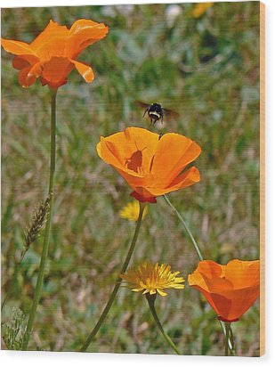 Ca Poppies And Bee  Wood Print by Gracia  Molloy