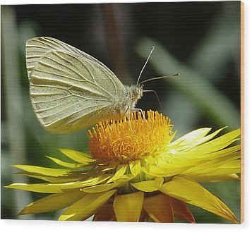 Cabbage White On Yellow Daisy Wood Print by Margaret Saheed