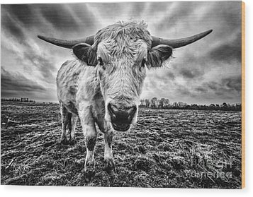 Cadzow White Cow Female Wood Print by John Farnan