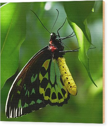 Cairns Birdwing Butterfly 3 Wood Print