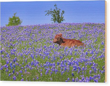 Wood Print featuring the photograph Calf Nestled In Bluebonnets - Texas Wildflowers Landscape Cow by Jon Holiday