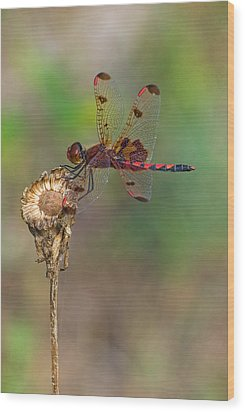 Calico Pennant On Dried Flower Wood Print