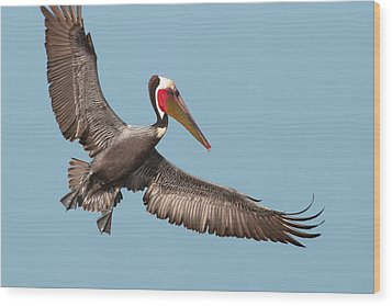 Wood Print featuring the photograph California Brown Pelican With Stretched Wings by Ram Vasudev