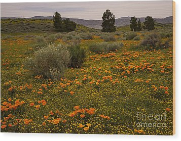 California Poppies In The Antelope Valley Wood Print by Nina Prommer