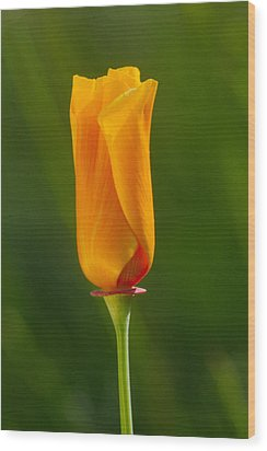 Wood Print featuring the photograph California Poppy by Judi Baker