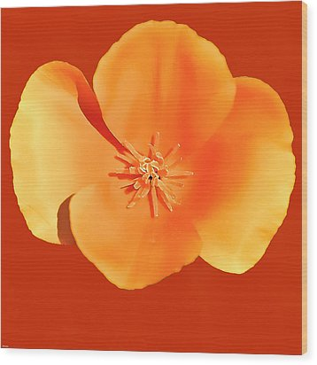 California Poppy Painting Wood Print by Bob and Nadine Johnston