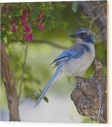 California  Scrub Jay Wood Print