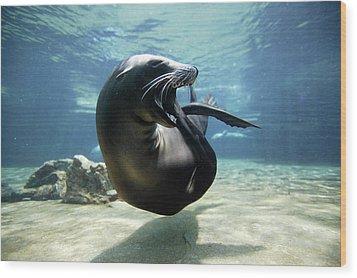 California Sea Lion Yawning Wood Print by Hiroya Minakuchi