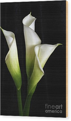 Calla Lily Flower Trio  Wood Print