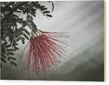 Calliandra Californica Wood Print