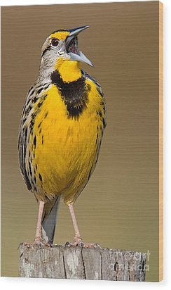 Wood Print featuring the photograph Calling Eastern Meadowlark by Jerry Fornarotto