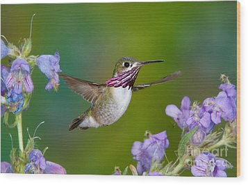 Calliope Hummingbird Wood Print by Anthony Mercieca