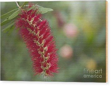 Callistemon Citrinus - Crimson Bottlebrush Wood Print by Sharon Mau