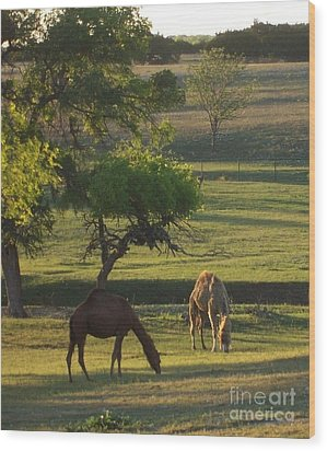 Camels Grazing Wood Print