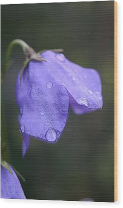 Campanula After The Rain Wood Print by Mark Severn