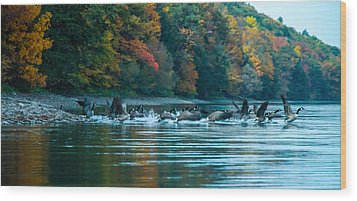 Canada Geese Taking Flight Wood Print by Steve Clough