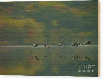 Canada Geese Whoosh Wood Print by Steve Clough