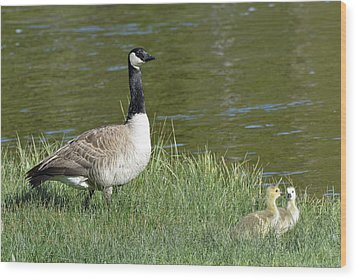 Canada Goose Mom With Goslings Wood Print by Bruce Gourley