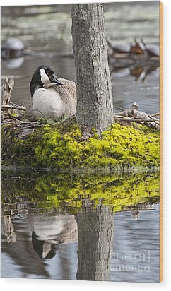 Canada Goose On Nest Wood Print by Michael Cummings