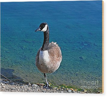 Canada Goose On One Leg Wood Print